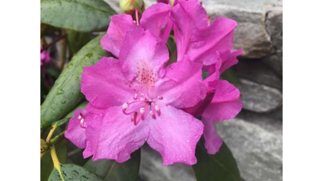 Native Appalachian Catawba Rhododendron
