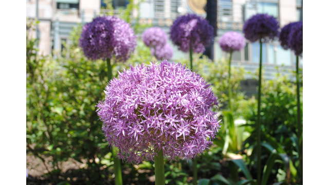 Organic landscapes on the Greenway (Alliums are a signature bloom)