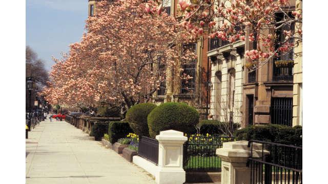 Commonwealth Avenue- Magnolia Trees