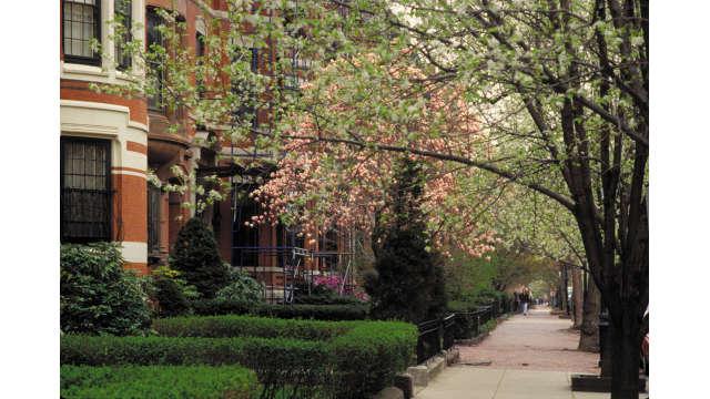 Marlborough Street- Magnolia Trees