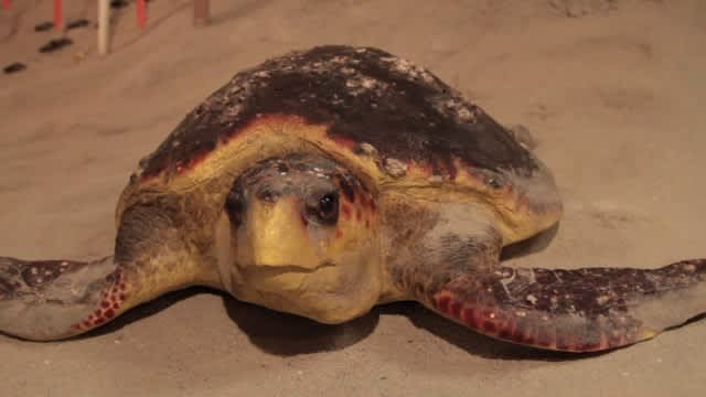 Sea Turtles in NC's Brunswick Islands