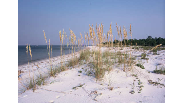 Horn Island sea oats