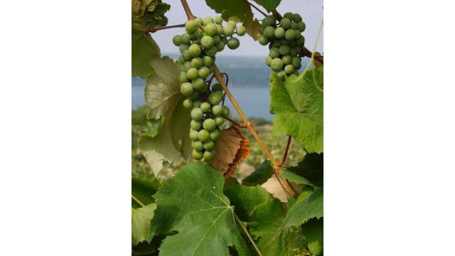Grapes in the Finger Lakes Region.