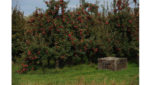 Apple Orchard along Route 31 west of Albion.