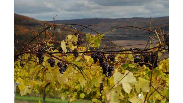 View of Southern end Canandaigua Lake and vineyard 1037
