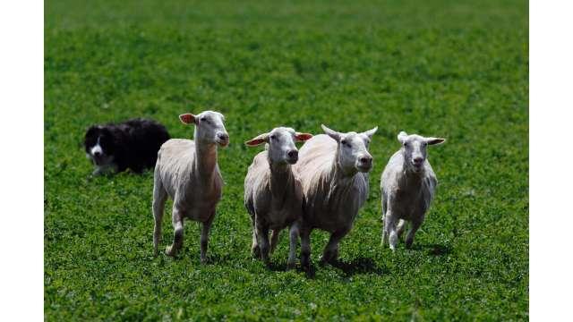 Old Chatham Sheep Herding Company