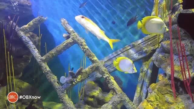 OBX Daydream | Aquarium (Otter-ly amazing!)