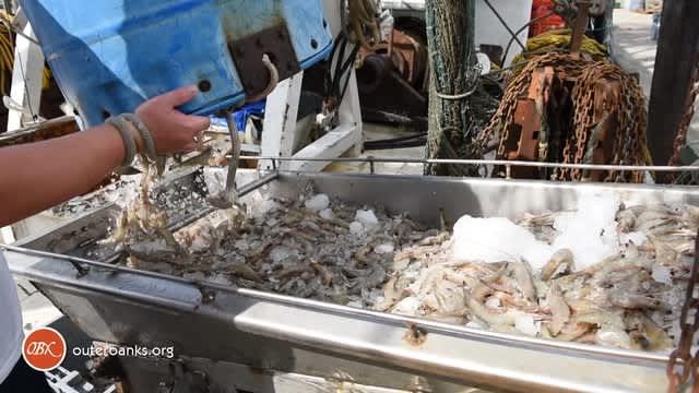 OBX Daydream | Wanchese Shrimp Haul