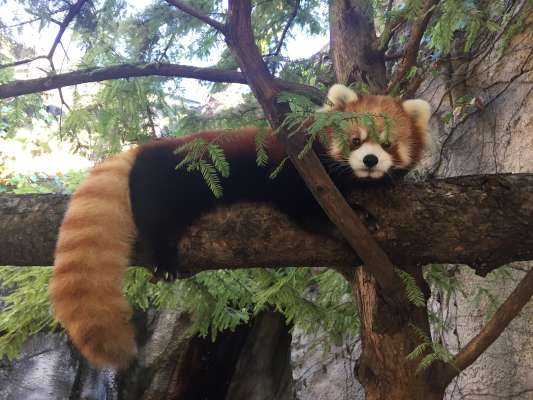 Red Panda WNC Nature Center