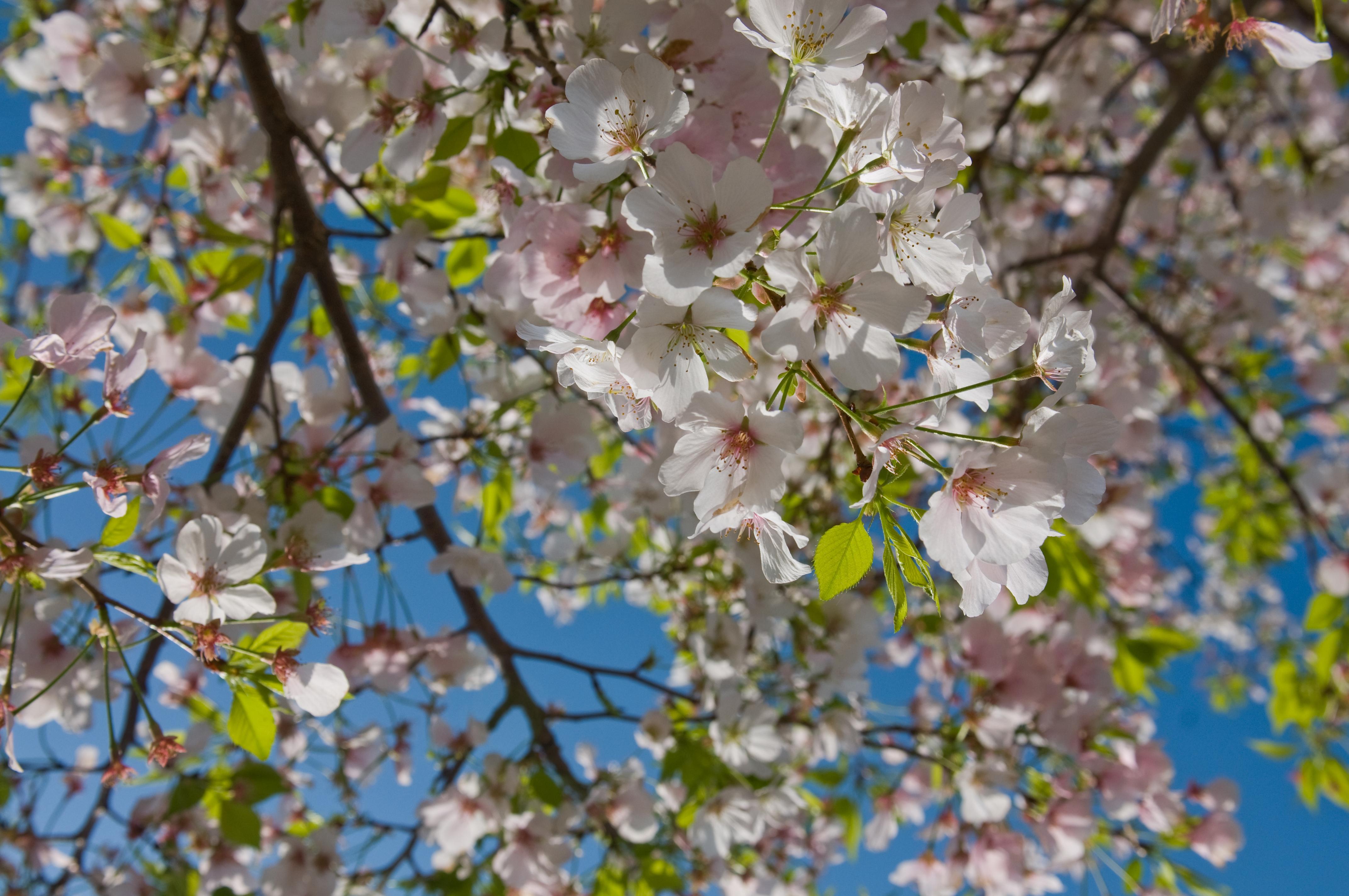 Image result for cherry blossom georgia