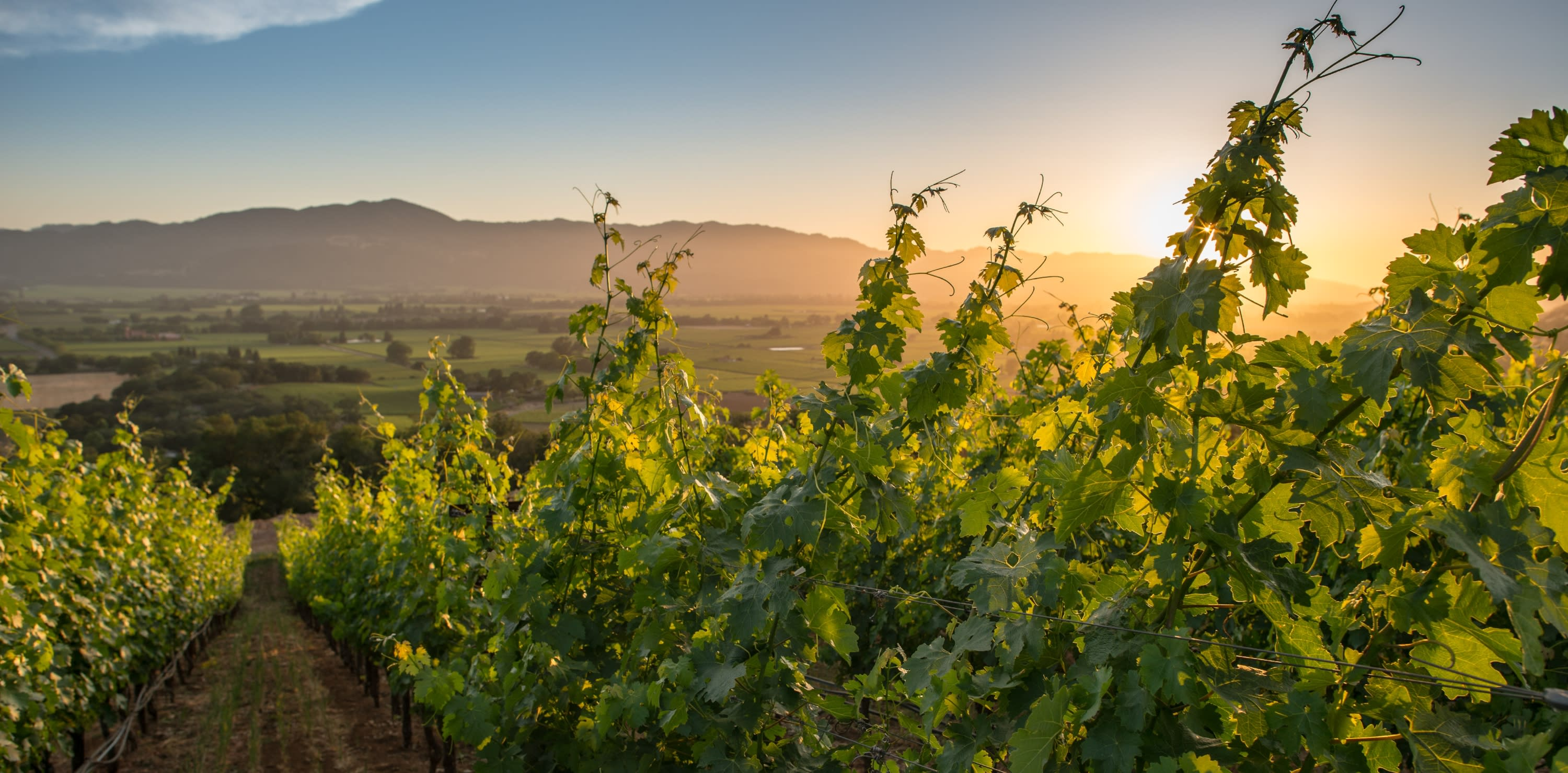 Summer sunset in Napa Valley vineyard
