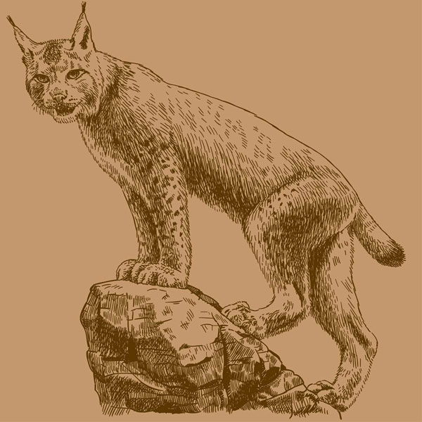 A vintage illustration showing a wildcat standing fiercely on a rock.