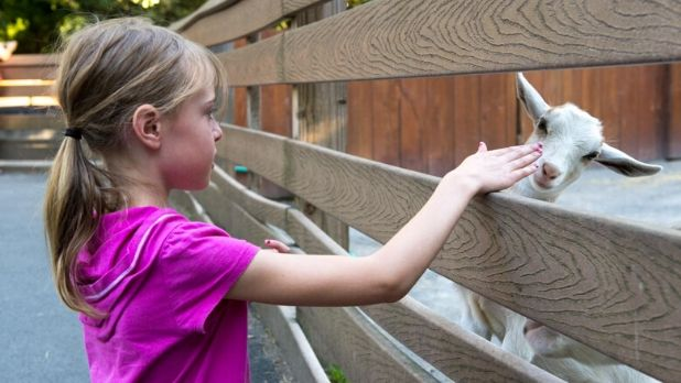 A little blonde girl petting a goat at the Utica Zoo