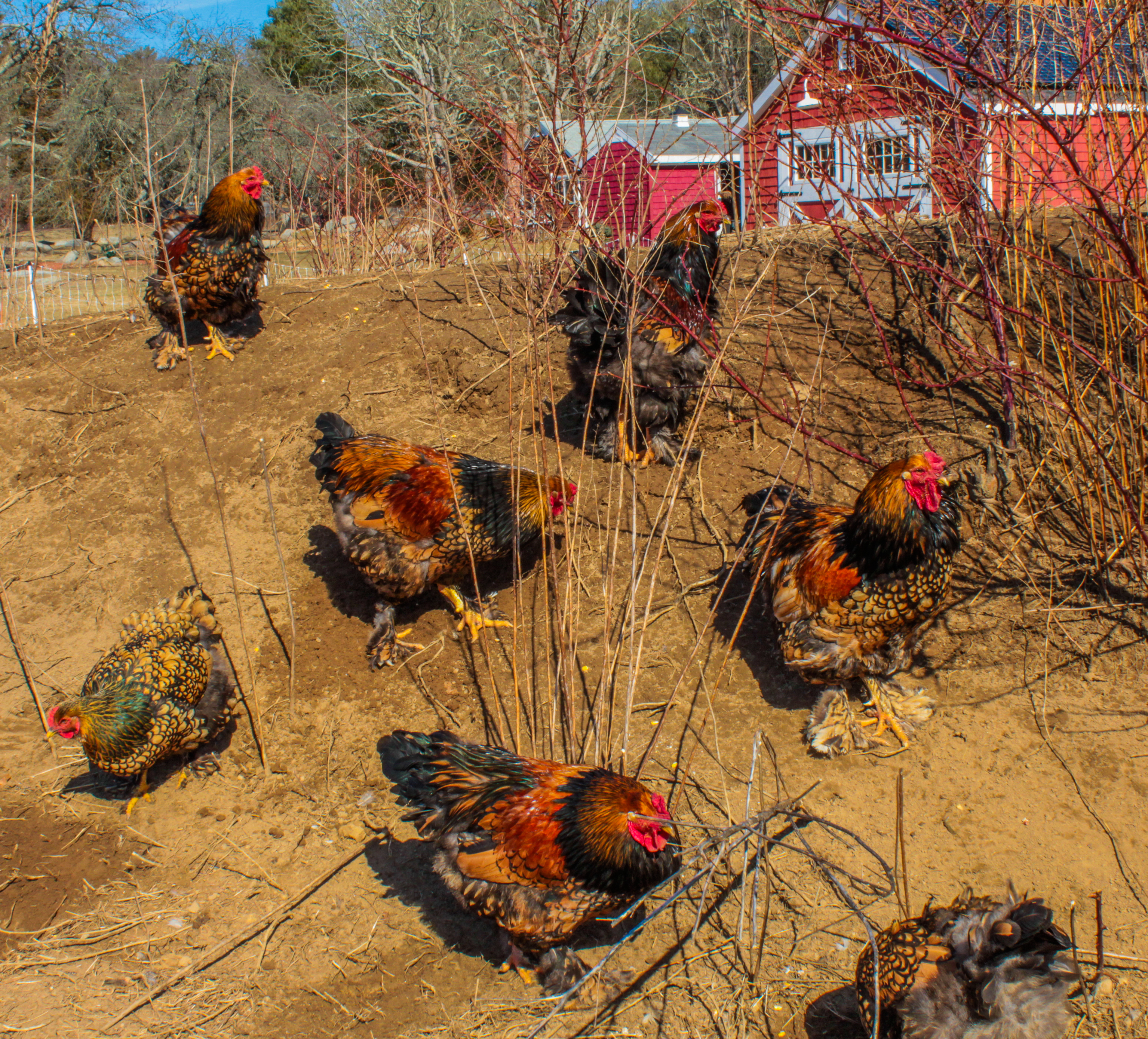Gold-laced Brahma Chickens at Lavender Waves Farm
