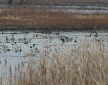 Gilmore Ponds Metropark Ducks