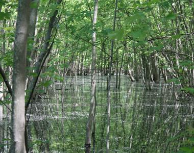 Gilmore Ponds Metropark Swamp