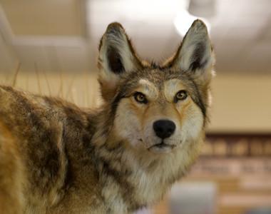 Robert A. Hefner Museum of Natural History Wolf