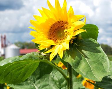 Garver Sunflowers
