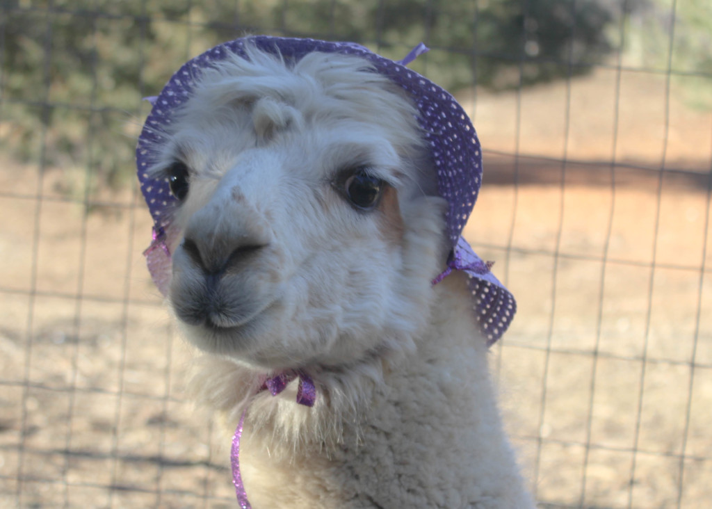 Make a Cocktail Hat with Angel the Alpaca at Lilymoore Alpaca Farm