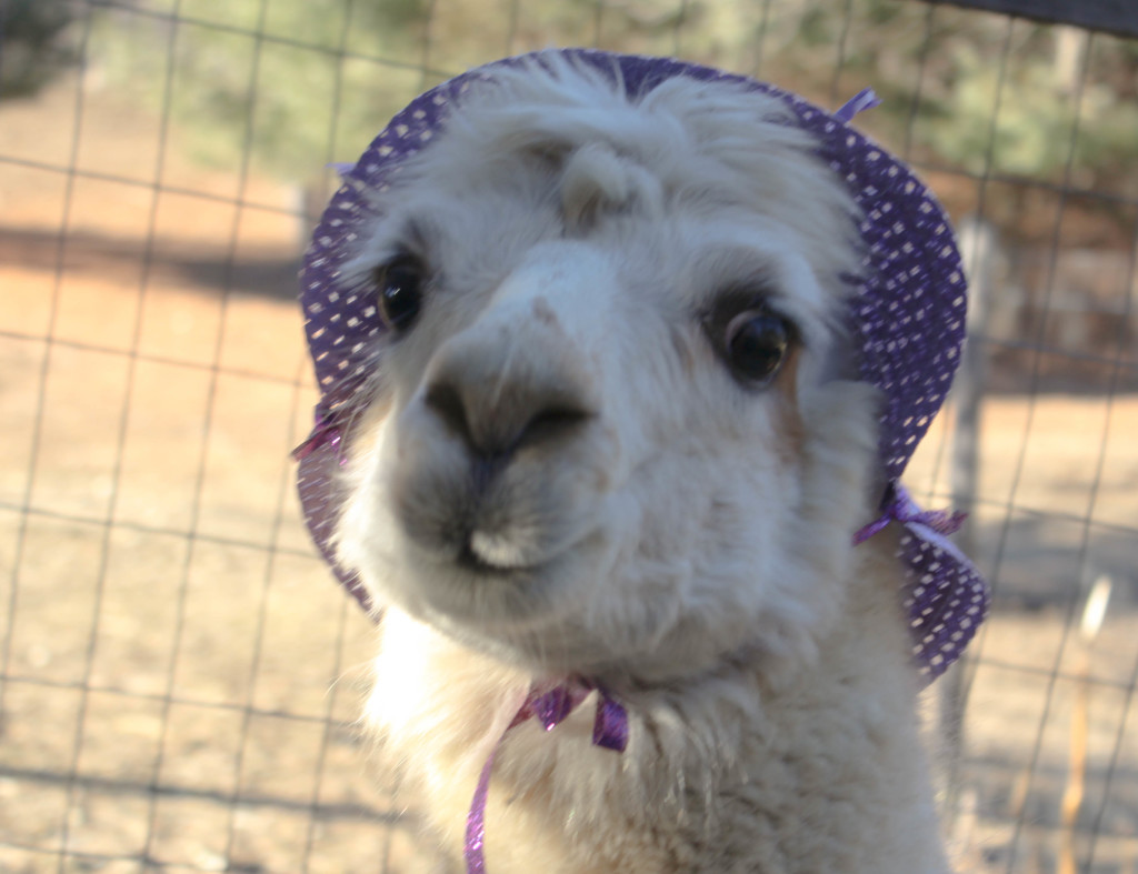 Make An Easter Bonnet With Angel the Alpaca at Lilymoore Alpaca Farm