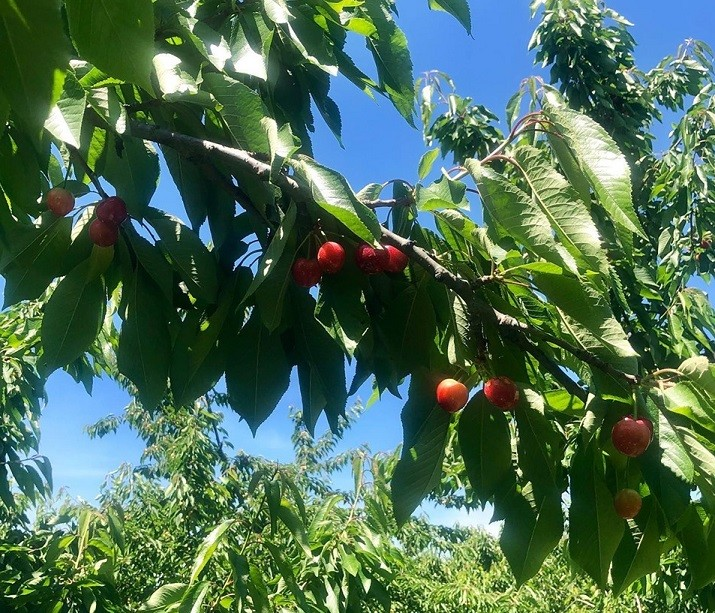 Rose Hill Farm - Pick your own Cherries Opens