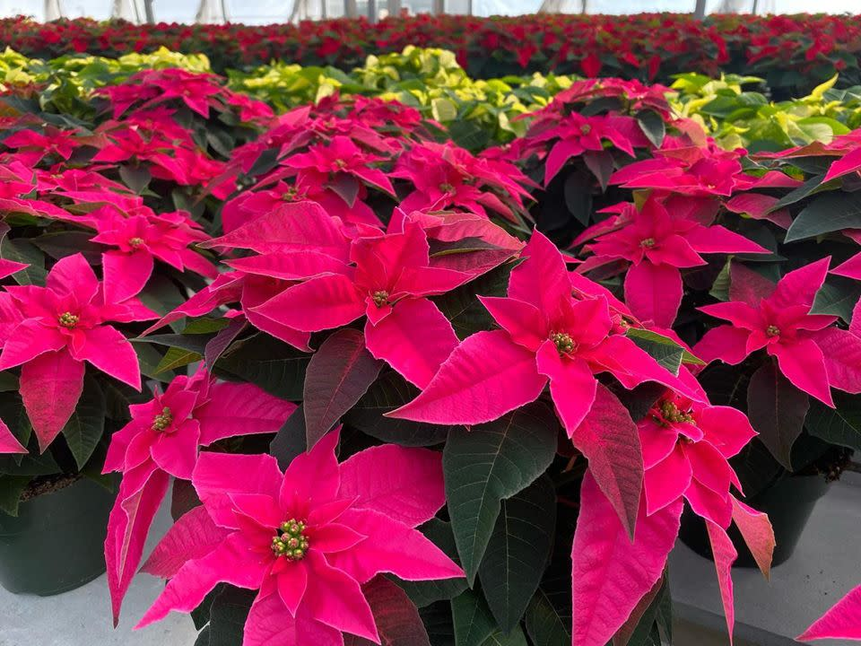 Holiday Open House at Sabellico Greenhouses & Florist