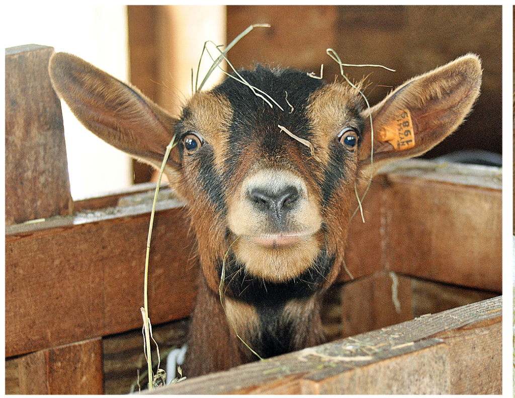 Cancelled: Baby Goat Weekend at Sprout Creek Farm