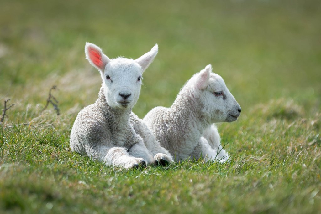 Cancelled: The Chancellor's Sheep & Wool Showcase 2020 at Clermont State Historic Site